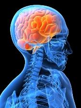 human brain needs water